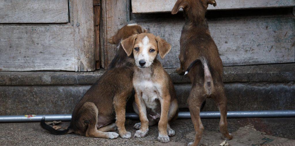 Pariah Dog image